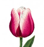 Red/White Trumph Tulip